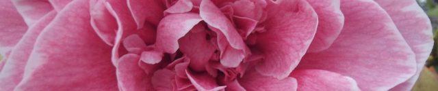 cropped-wow-rose.jpg