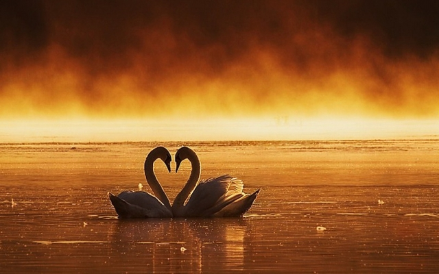 heart swans